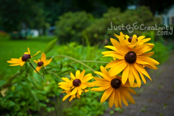Yellow Daisies. Photograph. July 2013.