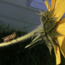Cricket on a Sunflower; bug on a flower.